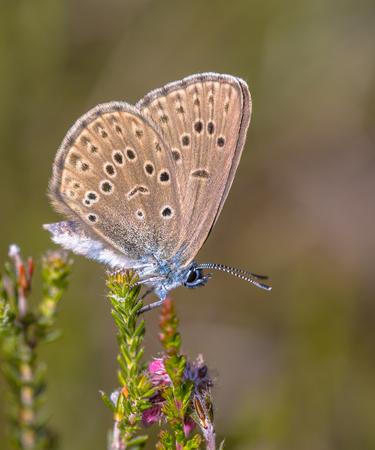 llegar tarde: Alcon gran azul (Phengaris Alcon) mariposa en reposo vegetaci�n herb�cea. Se puede ver volar a mediados o finales de verano. Al igual que otras especies de Lycaenidae, su larva (oruga) etapa depende del apoyo por ciertas hormigas; por lo tanto, se conoce como un mi