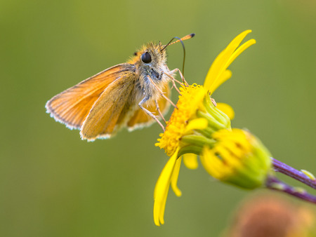 occurs: Essex skipper (Thymelicus lineola) This butterfly occurs throughout much of the Palaearctic region. Its range is from southern Scandinavia through Europe to North Africa and east to Central Asia. Stock Photo