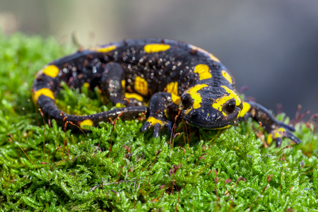 Fire salamanders (Salamandre salamandre) live in central European deciduous forests and are more common in hilly areas.
