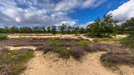 Panorama image of Nature reserve near Zeegse in Drentse Aa National Park with blooming heath (Calluna vulgaris), sand, grass, clouds and blue sky