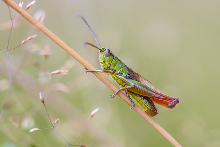 chorthippus: water-meadow grasshopper (Chorthippus montanus) close up on a grass stem