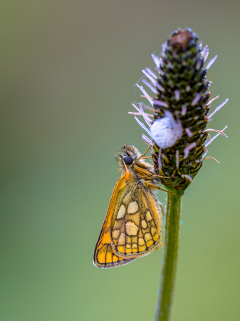 imago: Sleeping Chequered skipper (Carterocephalus palaemon) on a plant in the early morning. It is widely distributed in northern and central Europe. Its range extends across Asia and Japan and also into North America. Stock Photo