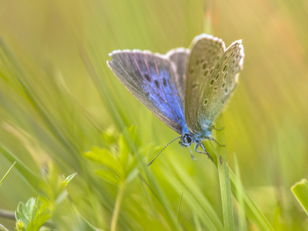 certain: Alcon blue butterfly (Phengaris alcon) resting in grassy vegetation. It can be seen flying in mid to late summer. Like some other species of Lycaenidae, its larva (caterpillar) stage depends on support by certain ants; it is therefore known as a myrmecoph