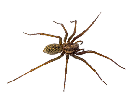 fine legs: Scary house spider (Tegenaria domesticus) on white background
