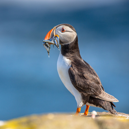 Puffin (Fratercula arctica) with fish in beak  underway to its nest in breeding colony on Isle of May, Scotland Stock Photo