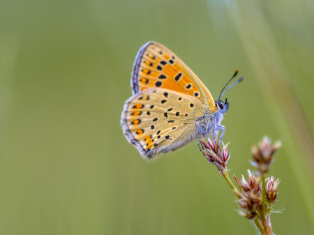 lycaena: Sooty Copper (Lycaena tityrus) Resting on bulrush flowers in june