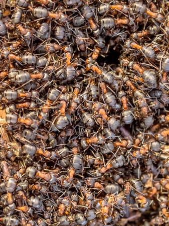 hustle: Red Ant Colony Hustle Creeping around the Entrance of their Nest