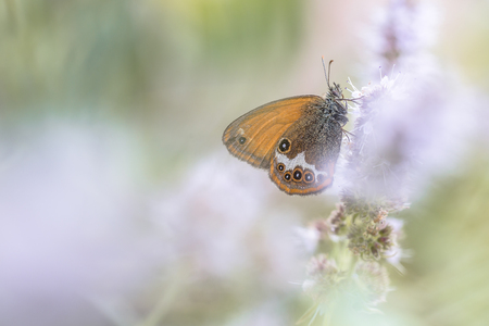 imago: Scarce Pearly Heath butterfly (Coenonympha arcania) eating nectar from flowers in blurred fore- and background