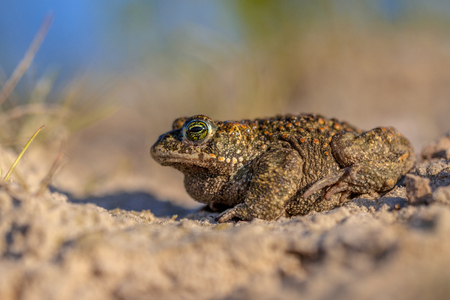 Profile sideview of a Natterjack toad (Epidalea calamita) in sandy habitat. With shallow DOF