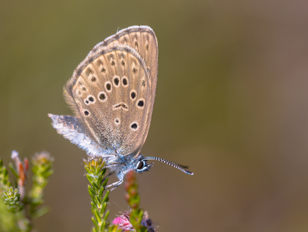 depends: Alcon large blue butterfly (Phengaris alcon) resting in grassy vegetation. It can be seen flying in mid to late summer. Like some other species of Lycaenidae, its larva (caterpillar) stage depends on support by certain ants; it is therefore known as a myr Stock Photo
