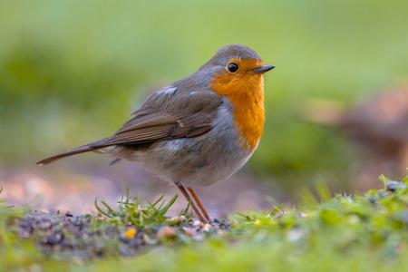 地上で採餌赤ロビン (Erithacus rubecula)。この鳥は通常コンパニオン園芸の追求