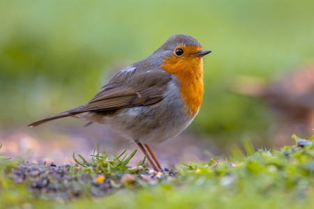 A red robin (Erithacus rubecula) foraging on the ground. This bird is a regular companion during gardening pursuits
