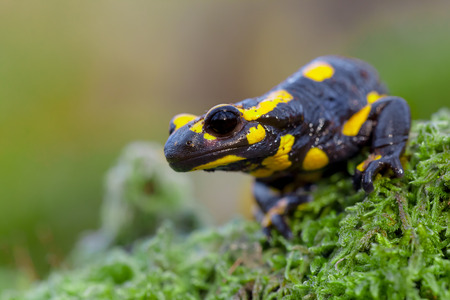 Toxic Fire salamanders (Salamandre salamandre) live in central European old deciduous forests and are more common in hilly areas with lots of dead trunks.