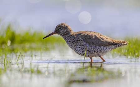 foraging: Common redshank (Tringa totanus) foraging in the shallow water of a wetland Stock Photo