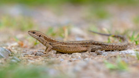 Viviparous lizard (Zootoca vivipara) seen from side. Full length image.  Eurasian lizard. It lives farther north than any other reptile species, and most populations are viviparous (giving birth to live young).