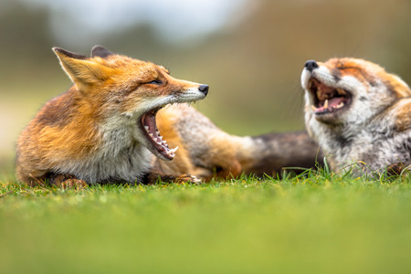 Two European red foxes (Vulpes vulpes) growling to each other in grass. The most abundant wild member of the Carnivora, being present across the entire Northern Hemisphere from the Arctic Circle to North Africa, North America and Eurasia.