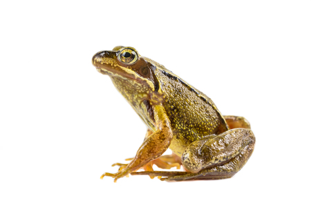 Common Brown frog (rana temporaria) sitting upright and looking in the camera  on white background with clipping path