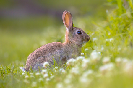 leporidae: European Wild rabbit (Oryctolagus cuniculus) in lovely green surroundings with white flowers Stock Photo