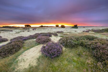 veluwe: Dunes, Grass and Heathland (Calluna vulgaris) under awe inspiring purple sunset in a national park in Hoge Veluwe the Netherlands, Europe