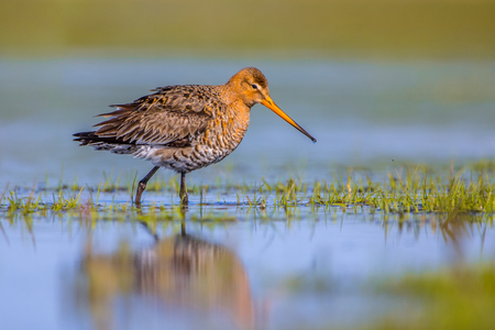 wader: Black-tailed Godwit (Limosa limosa) walking in shallow water of a wetland. This is one of the wader bird target species in dutch nature protection projects