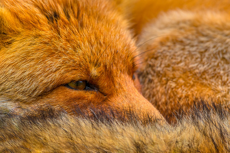 Close up of the head of Resting European red fox (Vulpes vulpes). Red Foxes are adaptable and opportunistic omnivores and are capable of successfully occupying urban areas.