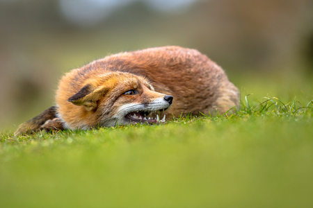 Growling European red fox (Vulpes vulpes) lying in grass. The most abundant wild member of the Carnivora, being present across the entire Northern Hemisphere from the Arctic Circle to North Africa, North America and Eurasia.