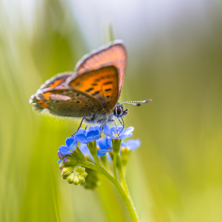 occurs: Violet Copper (Lycaena helle). This species occurs in scattered populations from the north of Norway to the Pyrenees and from the east of Belgium to East Asia