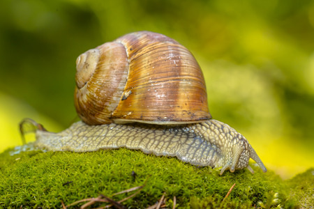 land shell: Escargot (Helix pomatia) creeping on  green moss in forest