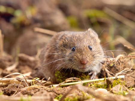 vole: Common Vole (Microtus arvalis) in its Natural Rural Open Habitat