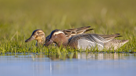 dabbling duck: Pair of garganey (Anas querquedula) in early morning sun. This is a small dabbling duck. It breeds in much of Europe and western Asia. Stock Photo