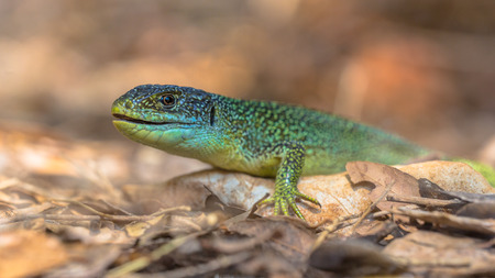 Eastern European Green Lizard (Lacerta viridis) resting on a rock among leaves with blurred background Stock Photo