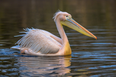 onocrotalus: Side view of Great white pelican (Pelecanus onocrotalus). A social and cooperative bird, the great white pelican fishes in the early morning, spending the remainder of the day preening and bathing.