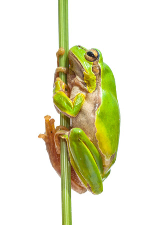 hyla: Green European Tree Frog (Hyla arborea) holding on to a vertical stick, isolated on white background