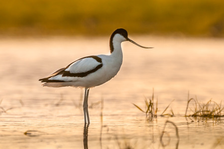 Pied avocet (Recurvirostra avosetta) wading in water in early morning sun