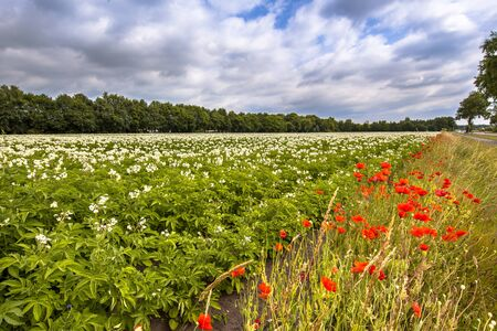 campo de flores: Organic potato field with blossoms and red poppy flowers in the border Foto de archivo