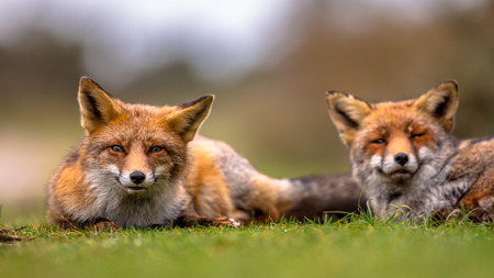 Couple of  European red fox (Vulpes vulpes) family members lying in grass. The most abundant wild member of the Carnivora, being present across the entire Northern Hemisphere from the Arctic Circle to North Africa, North America and Eurasia.