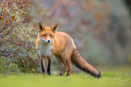 European red fox (Vulpes vulpes) walking on grass in the dunes in bush of common sea-buckthorn (Hippophae rhamnoides) in background