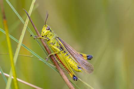 Rare Large marsh grasshopper (Stethophyma grossum). A threatened insect species typical for marshland and swamp habitats