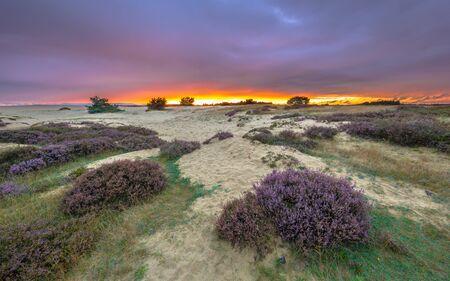 posbank: Shifting sands and Heath (Calluna vulgaris) in national park de Hoge Veluwe around sunset under a clouded sky in August