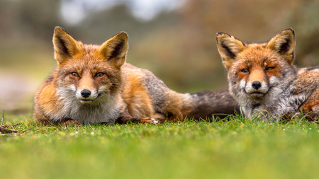 Pair of  European red fox (Vulpes vulpes) family members lying in grass. The most abundant wild member of the Carnivora, being present across the entire Northern Hemisphere from the Arctic Circle to North Africa, North America and Eurasia. Stock Photo