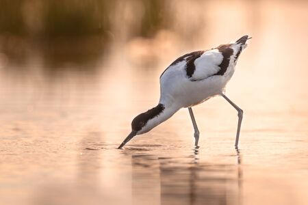 pied avocet (Recurvirostra avosetta) wading in shallow water of a salt marsh in early orange light and looking for food during sunrise