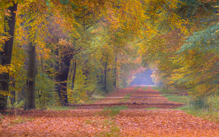 yellow trees: Autumn lane with Beech trees (Fagus sylvatica) in bright orange yellow and brown colors Stock Photo