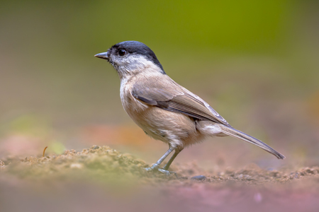 Willow tit (Poecile montanus) is a widespread and common resident breeder throughout temperate and subarctic Europe and northern Asia. It can be distinguished from Marsh tit (Poecile palustris) only by sound. Stock Photo