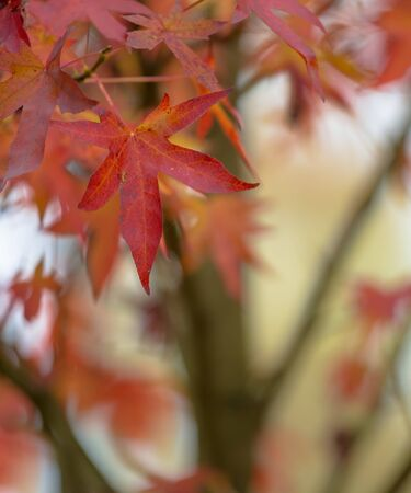autumn colors: Maple leaves in various autumn colors on braches of a tree in october
