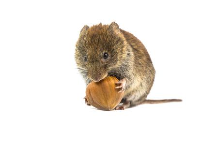 Ratón salvaje de ratones (Myodes glareolus) sentado sobre las patas traseras y tratando de abrir y comer avellanas sobre fondo blanco.