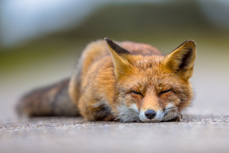 occupying: Sleeping European red fox (Vulpes vulpes) on the ground. Red Foxes are adaptable and opportunistic omnivores and are capable of successfully occupying urban areas. Stock Photo
