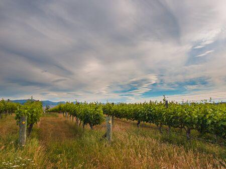 marlborough: new zealand vineyard near Blenheim under a dramatic sky