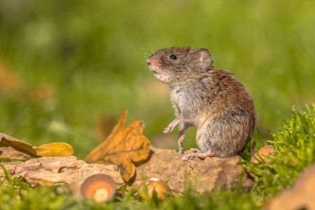 Wild Bank vole (Myodes glareolus) mouse posing on hind legs from autumn scene forest floor with dead leaves and acorns