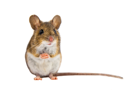 Mouse di legno (Apodemus sylvaticus) seduto sulle zampe posteriori e guardando nella fotocamera su sfondo bianco Archivio Fotografico - 65238144