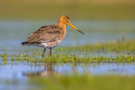 wetland conservation: Black-tailed Godwit (Limosa limosa) standing in shallow water of a wetland. Its breeding range stretches from Iceland through Europe and areas of central Asia. Stock Photo